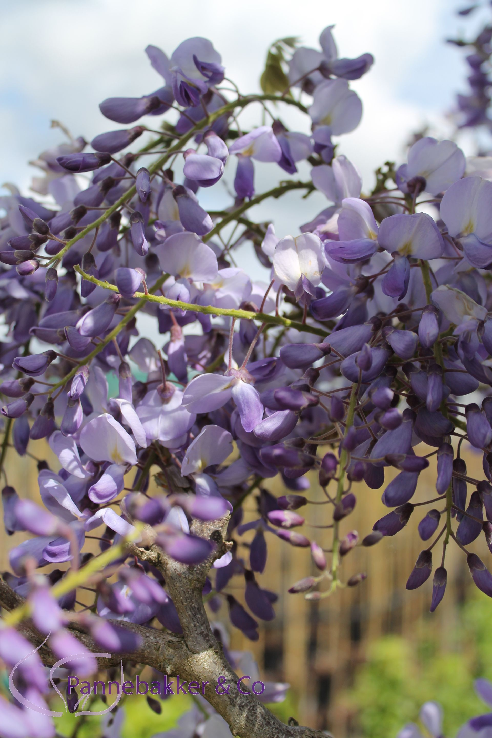 WisteriaSinensisProlific