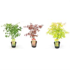 Picture of Acer palm. Basic mix