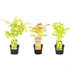 Picture of Acer shirasawanum Mix