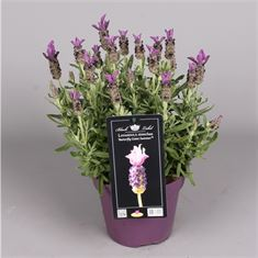 Picture of Lavandula sto. Giant Summer