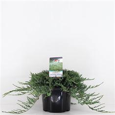 Picture of Juniperus horizontalis Wiltonii