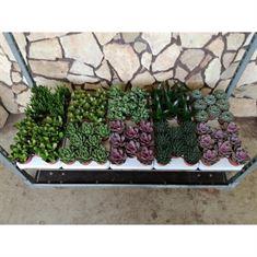 Picture of Succulent mix