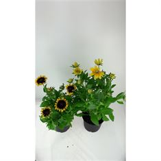 Picture of Rudbeckia Smileys series