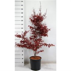 Picture of Acer pal. bloodgood