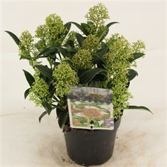 Picture of Skimmia jap. Marlot