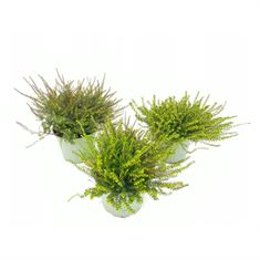 Picture of Erica Darleyensis in varieties