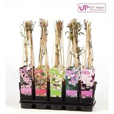 Picture of Clematis montana mix tray