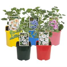 Picture of Lavatera in varieties
